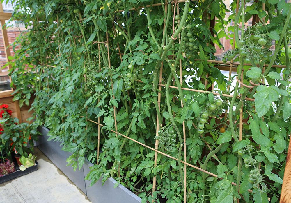 Roof_garden__tomatoes
