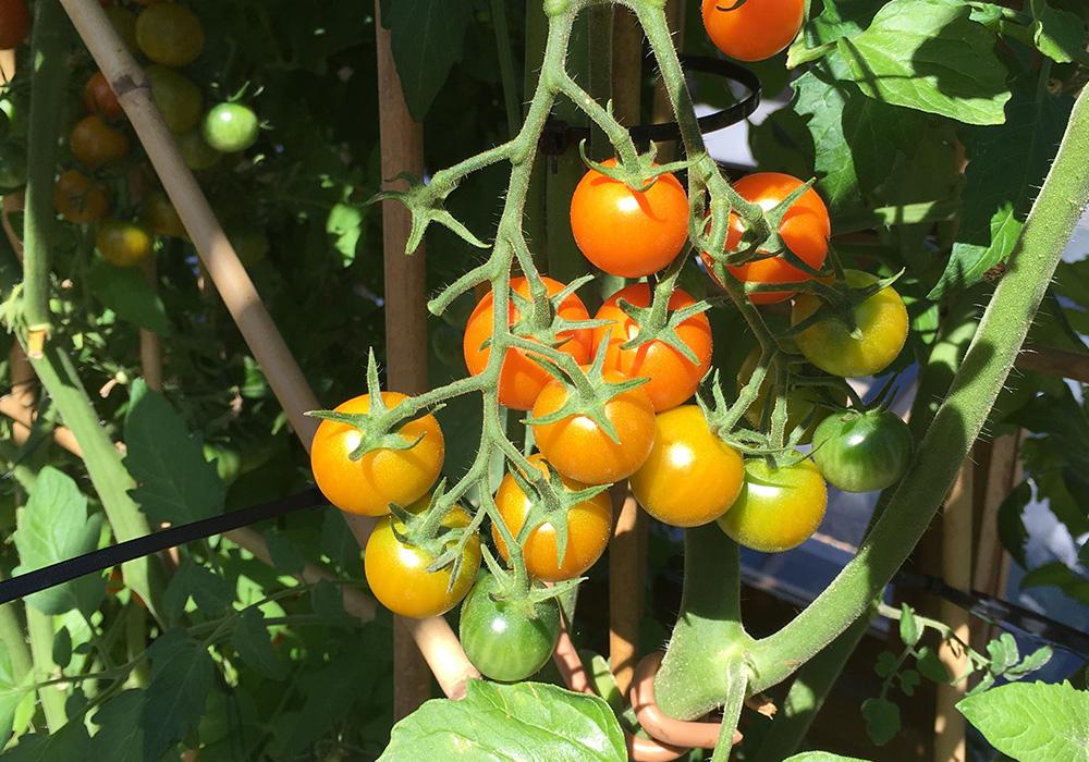 Roof_garden_tomato